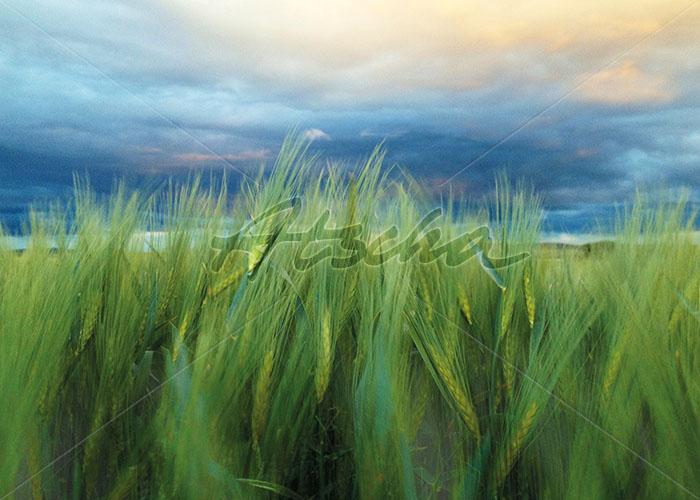 Korn im Wind